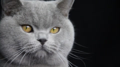 A gray color cat licks its nose and jumbs come out of the frame Stock Footage