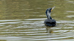 Cormorant in lake Stock Footage