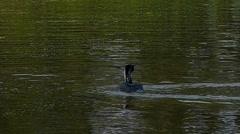 Cormorant flight in lake Stock Footage