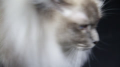 The long haired beautiful siamese walks around the camera Stock Footage