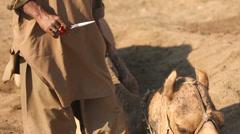 Sindhi Man Grooming a Camel Stock Footage