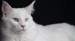 The Powerful Look of a White Cat Stock Footage