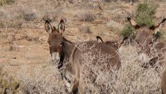 Wild Burros Grazing in the Mojave Desert - stock footage