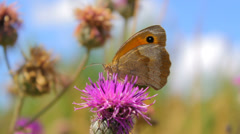 Colorful butterfly on the purple wild flower in the meadow, macro Stock Footage