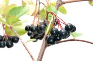 Stock Photo of aronia.