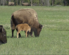 Bison herd + calves migrating Yellowstone National Park Stock Footage