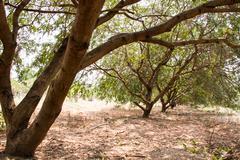 Tamarind tree - stock photo