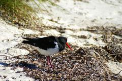 australian pied oystercatcher on the beach - stock photo