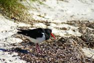 Stock Photo of australian pied oystercatcher on the beach