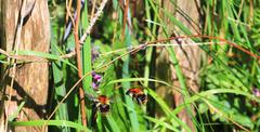 bumblebees in closeup flying towards a flower - stock photo