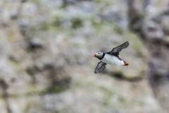 Atlantic puffin (fratercula arctica), taking flight on bjornoya, svalbard Stock Photos