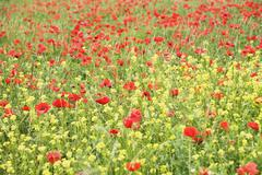 Field of wildflowers and poppies, val d'orcia, province siena, tuscany, italy Stock Photos