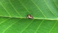 Ladybug larva metamorphosis timelaps Stock Footage