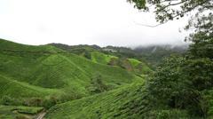 Tea Plantation Stock Footage
