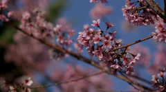 Cherry Tree in Blossom Stock Footage