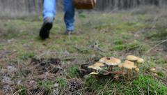 Mushroom pickers walks along on inedible poisonous mushrooms. Stock Footage