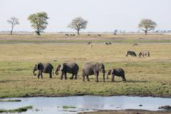 Elephants (loxodonta africana), chobe national park, botswana, africa Stock Photos