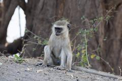 Vervet monkey (cercopithecus aethiops), chobe national park, botswana, africa Stock Photos