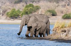 elephants (loxodonta africana), chobe national park, botswana, africa - stock photo