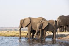 Elephants (loxodonta africana), chobe national park, botswana, africa Stock Photos