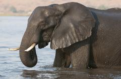 elephants (loxodonta africana), chobe national park, botswana, africa - stock photo