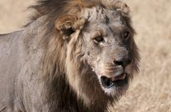 Lion (panthera leo), savuti, chobe national park, botswana, africa Stock Photos