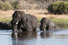 african elephant (loxodonta africana), okavango delta, botswana, africa - stock photo