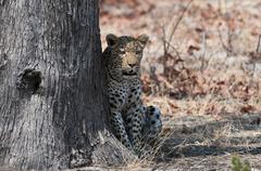 Leopard (panthera pardus), okavango delta, botswana, africa Stock Photos