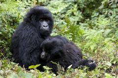 Vuorigorillojen (gorilla gorilla beringei), Kongo, Ruanda, afrikka Kuvituskuvat