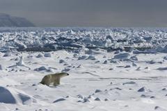 Polar bear (ursus maritimus) on pack ice, spitsbergen, svalbard, norway Stock Photos