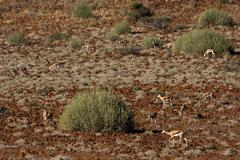 Herd of springbok (antidorcas marsupialis), namibia, africa Stock Photos