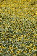 Sunflowers, provence, france, europe Stock Photos
