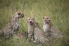 Cheetah (acinonyx jubatus), masai mara national reserve, kenya Stock Photos