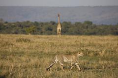 cheetah (acinonyx jubatus), masai mara national reserve, kenya - stock photo
