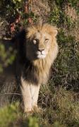 male lion (panthera leo), masai mara national reserve, kenya, east africa - stock photo