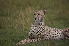 Gepardi (Acinonyx jubatus), masai mara kansallinen varanto, kenia Kuvituskuvat