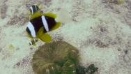 Stock Video Footage of Anemone or Clown Fish are seen while diving the Indian Ocean in Tanzania.