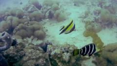 A Moorish Idol is seen while diving the Indian Ocean in Zanzibar, Tanzania. Stock Footage