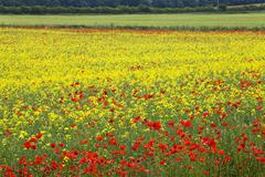 poppies in an oilseed rape field near north stainley, ripon, north yorkshire - stock photo