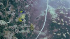 A Royal Angelfish is seen while diving the Indian Ocean in Zanzibar, Tanzania. Stock Footage