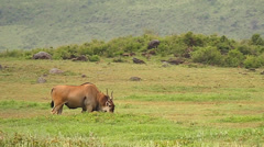 Common Eland walks in the grass in Ngorongoro Crater, Tanzania. Stock Footage