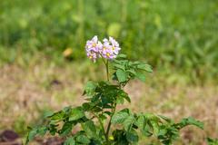 Flower of potato plant on the blur background Stock Photos