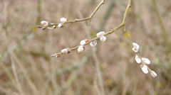 Pussy-willow twigs with catkins - stock footage