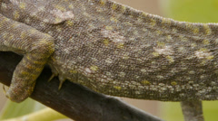 Common chameleon Stock Footage