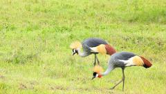 Endangered Grey Crowned Cranes grazing in in Ngorongoro Crater, Tanzania. Stock Footage