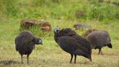 Helmeted Guineafowl preen in the Ngorongoro Crater, Tanzania. Stock Footage