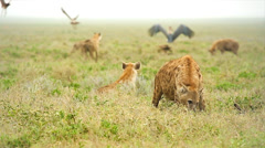 Spotted Hyenas scavenge an animal carcass in the Serengeti, Tanzania. - stock footage