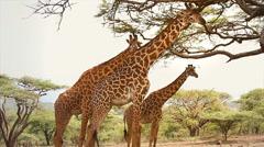 Masai Giraffes feed on acacia tree in the Serengeti, Tanzania. Stock Footage
