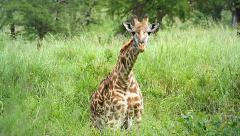 Masai Giraffe feeds on grass in the Serengeti, Tanzania. - stock footage