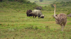 Ostrich walking and eating grass in the Ngorongoro Crater in Tanzania. Stock Footage